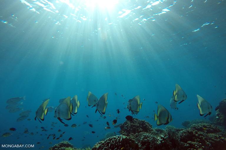 Orbicular batfish in Komodo, Indonesia. Image by Rhett A. Butler/Mongabay.