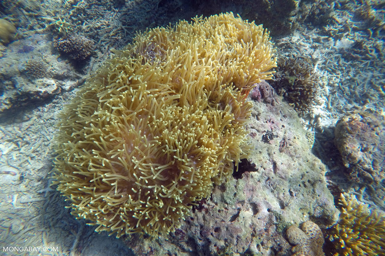 A yellow anemone in Indonesia. Image by Rhett A. Butler/Mongabay.