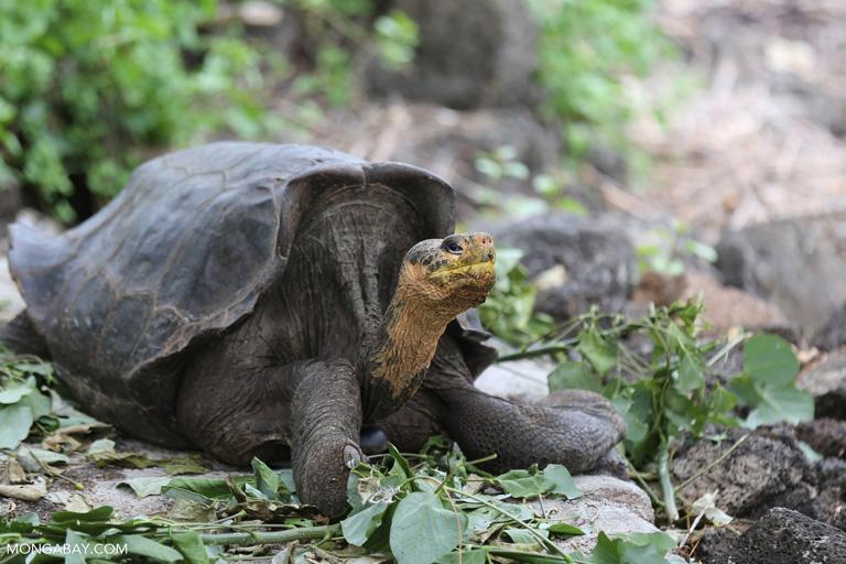 A Galapagos tortoise. Image by Rhett A. Butler/Mongabay.