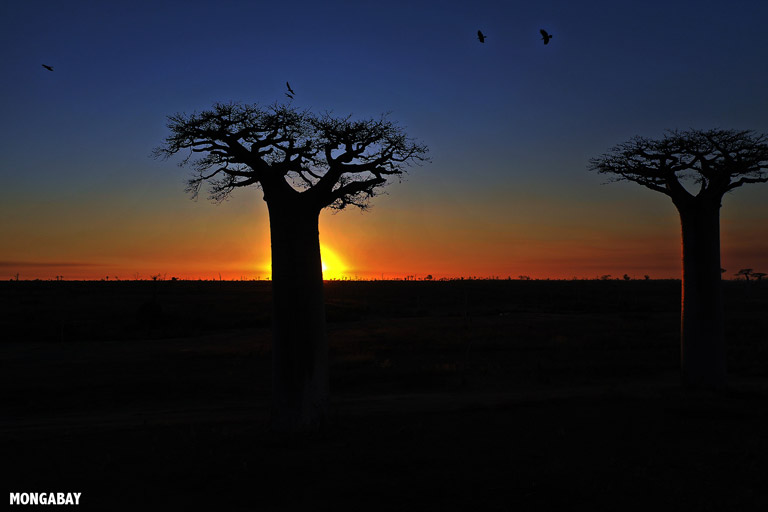 Baobabs at sunset in Madagascar. Image by Rhett A. Butler/Mongabay.