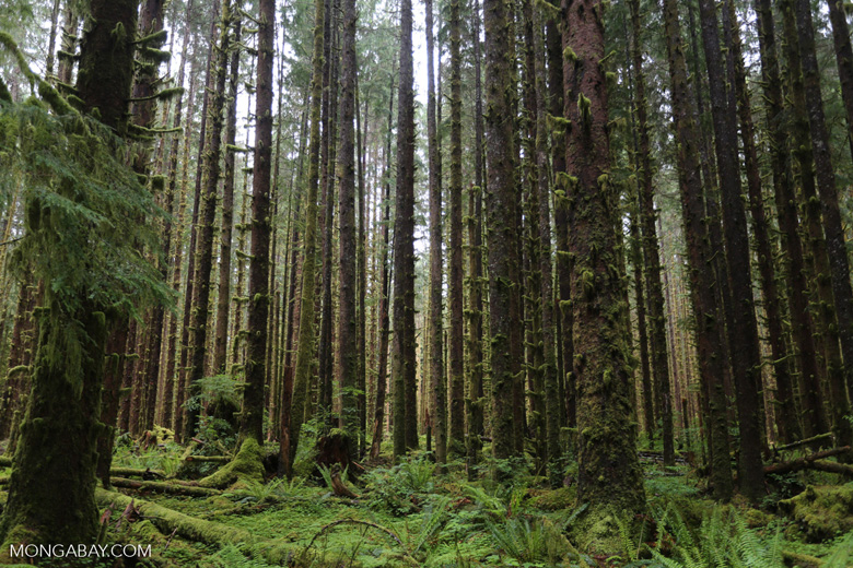 The temperate Hoh rainforest in the U.S. Image by Rhett A. Butler/Mongabay.