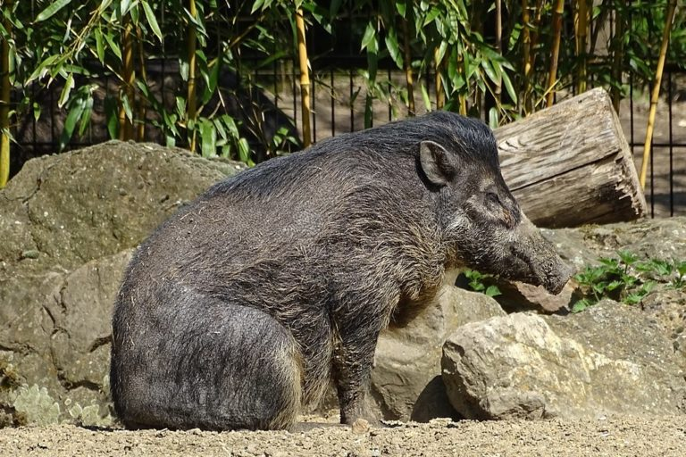 These rare pigs can dig it. With a tool that is. And moonwalk too