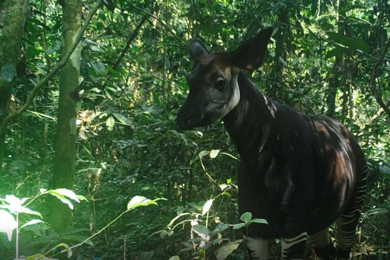 DRC's Okapi Wildlife Reserve gets new management partner in WCS