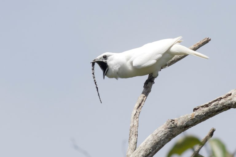 Amazon's male white bellbird has the loudest recorded call