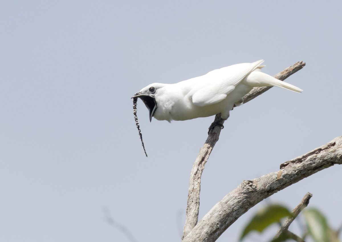 Amazon S Male White Bellbird Has The Loudest Recorded Call