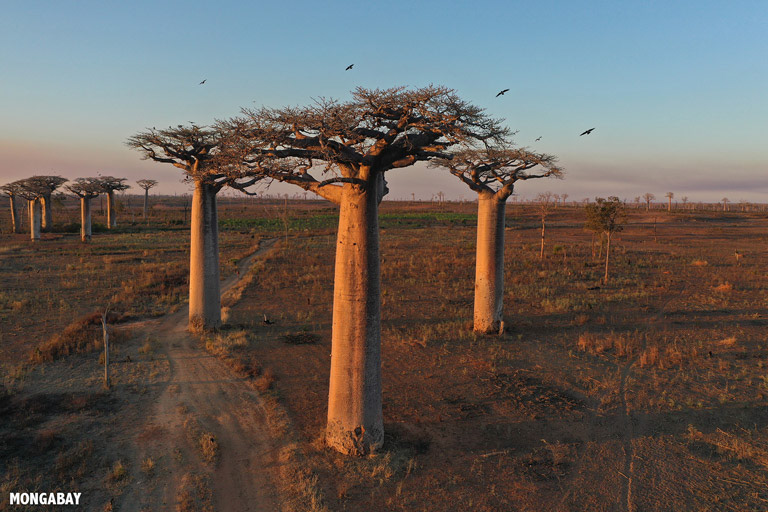 Baobab trees in Madagascar. Image by Rhett A. Butler/Mongabay.