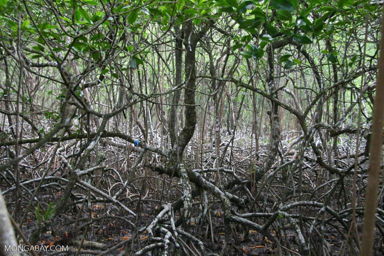 A mangrove swamp in Panama. Image by Rhett A. Butler/Mongabay.