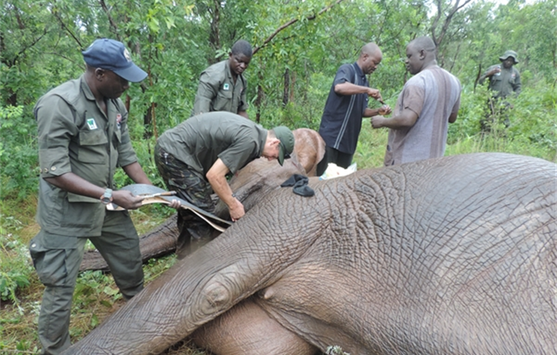 WCS veterinarian Steve Harvey fitting a collar on one of the elephants. Image courtesy of Nacha Geoffrey/WCS