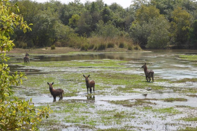 Water buck (Kobus ellipsiprymnus) at Yankari: the park is also home to buffalo, tantalus and patas monkeys, roan antelope, hartebeest, and lions. Image by Charles Emogor via Wikimedia Commons (CC BY-SA 4.0)