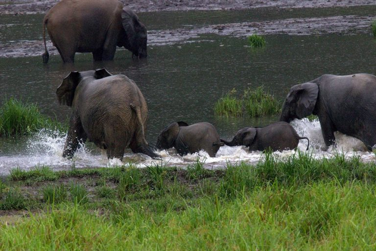 Gabon is home to nearly 60% of the forest elephants remaining in Africa. Image by Ngangorica via Wikimedia Commons (CC BY-SA-4.0)