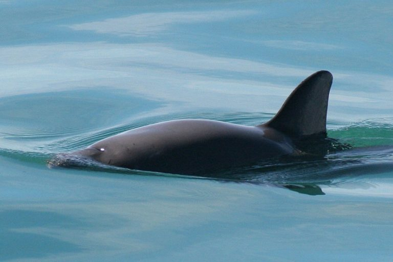 Nearly extinct vaquita mothers with calves spotted in recent expeditions