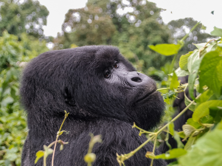 Despite the threats they face, mountain gorilla numbers are growing. Image by John C. Cannon/Mongabay.
