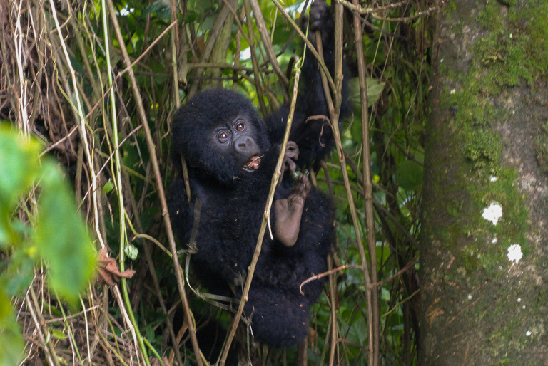 A rambuctious youngster shows off for the visitors. Image by John C. Cannon/Mongabay.