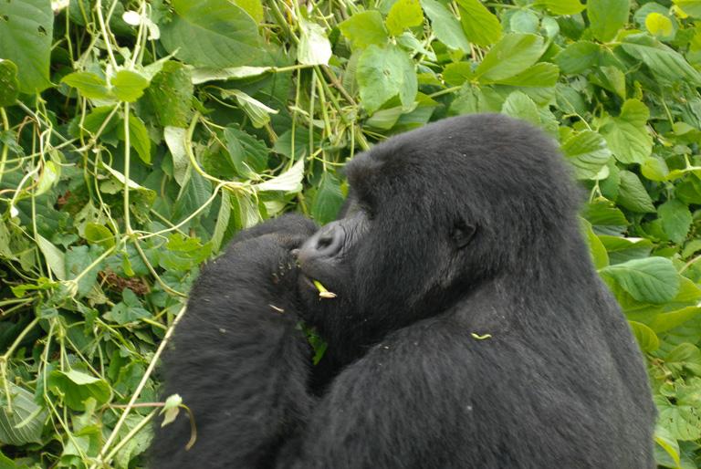 The roughly 1,000 mountain gorillas live along the Albertine Rift running through Uganda, Rwanda and the Democratic Republic of Congo. Image by John C. Cannon/Mongabay.