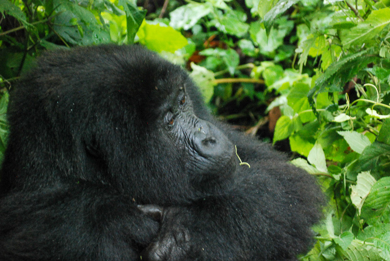 A female gorilla watches over her family. Image by John C. Cannon/Mongabay.