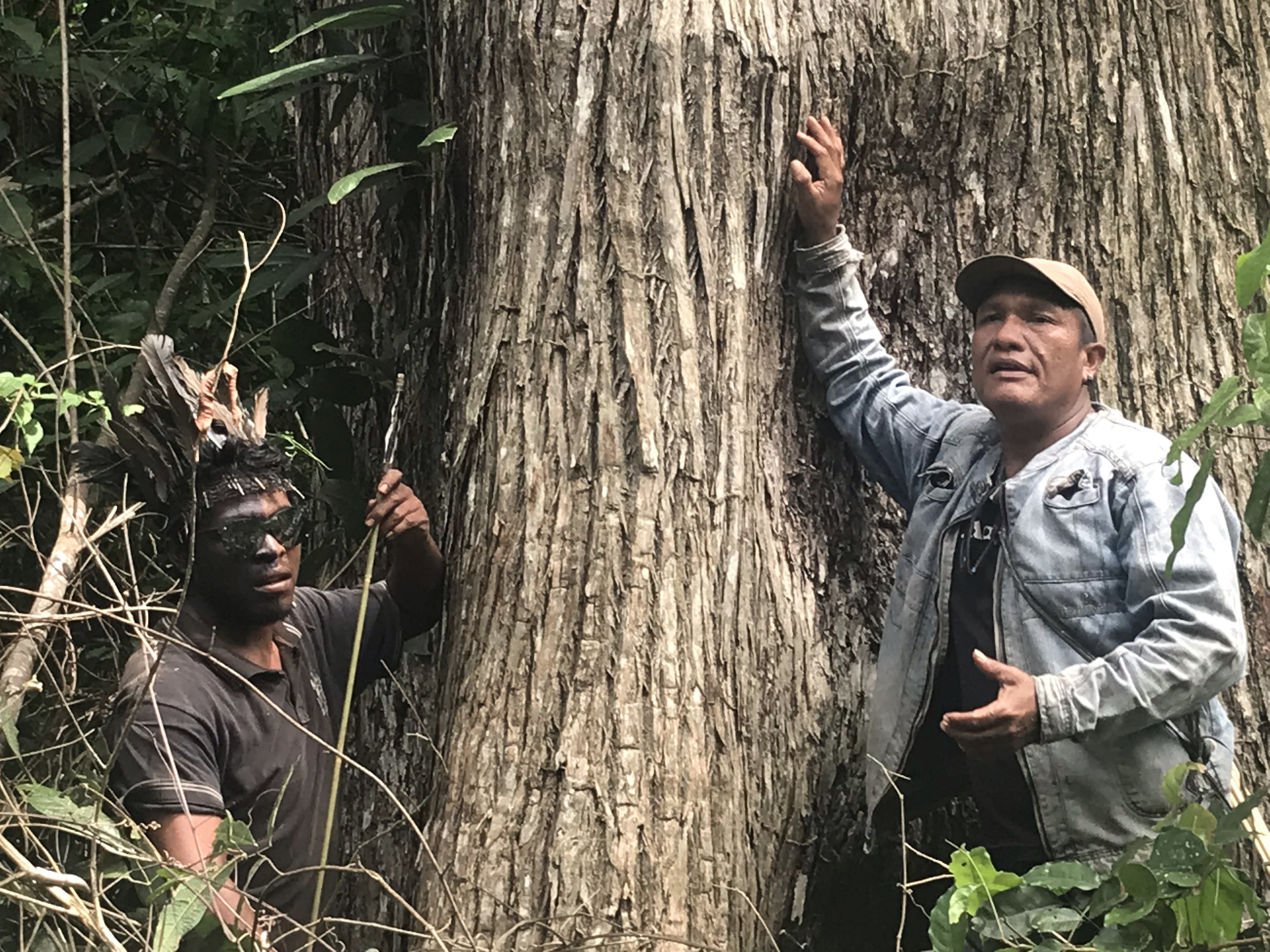 """Indigenous Guajajara leader Paulo Paulino Guajajara (left) and Olímpio Iwyramu Guajajara (right), the leader of the """"Guardians of the Forest,"""" show a tree targeted by loggers in the Araribóia indigenous reserve, in Maranhão state, on Jan 31, 2019. Image by Karla Mendes/Mongabay"""