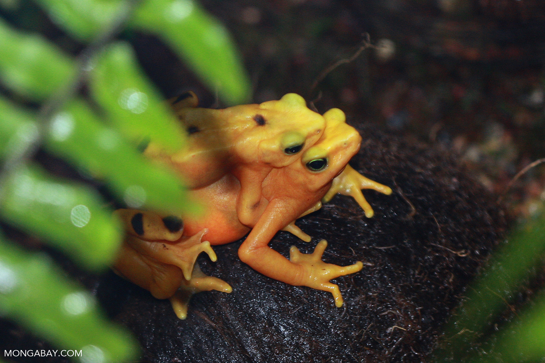 Panama golden toads