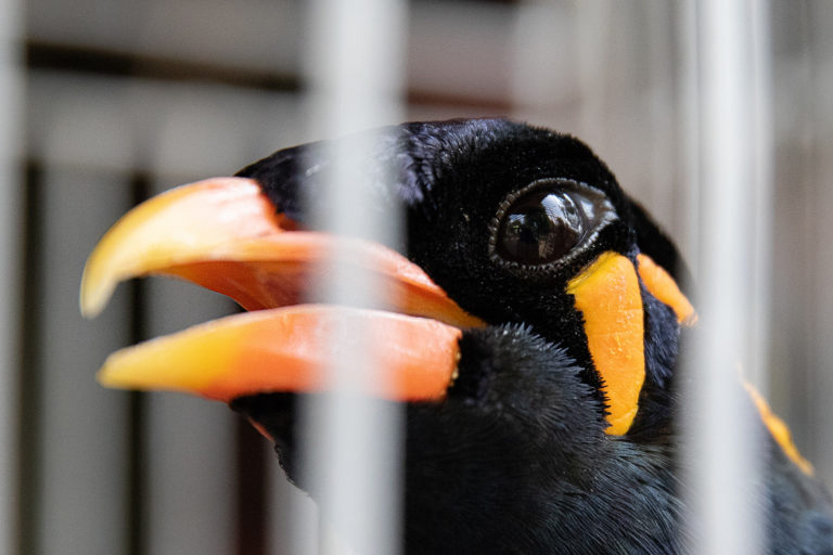 Hill Myna, Gracula religiosa, for sale in a bird market, Java, Indonesia. photo credit: Gabby Salazar