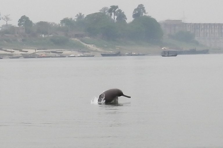 India's Ganga River dolphins are being shouted down by noisy boats