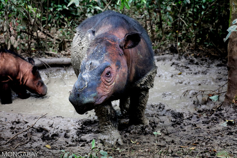Mother Sumatran rhino with calf in Way Kambas, Indonesia. Sumatran rhino conservation efforts have been plagued by failures, offering plenty of lessons for current initiatives working to save the species from extinction. Photo by Rhett Butler.