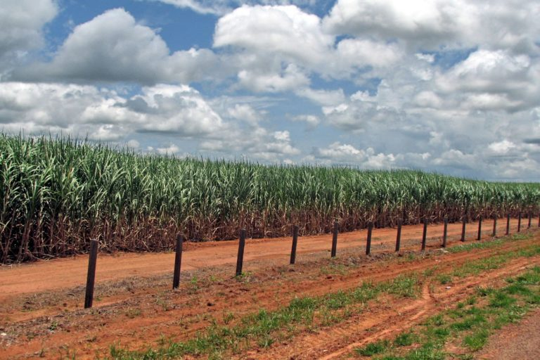 In surprise move Brazil has removed restrictions on Amazon sugarcane