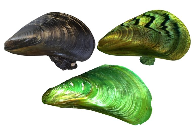 Mussel species that invaded Southeast Asian waters now appears in India