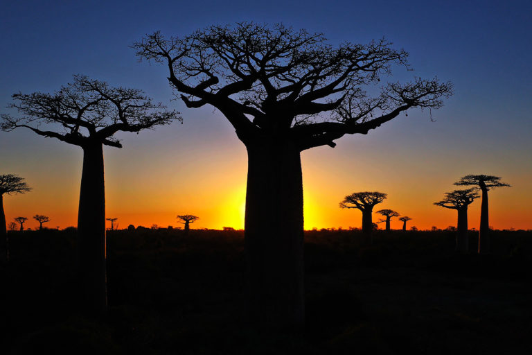Baobab trees at sunset in Madagascar. Photo by Rhett A. Butler