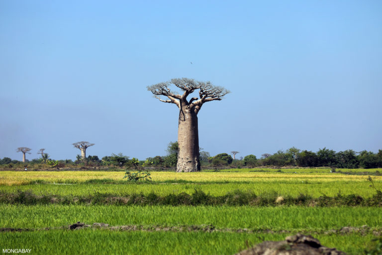 Baobab tree amid rice paddies outside Morondava. Photo by Rhett A. Butler