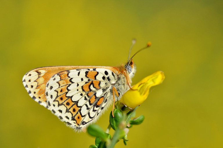 A Glanville fritillary (Melitaea cinxia), one of the species in the study. Image by Gilles San Martin via Wikimedia Commons (CC BY 2.0) [CC BY-SA 2.0 (https://creativecommons.org/licenses/by-sa/2.0)].