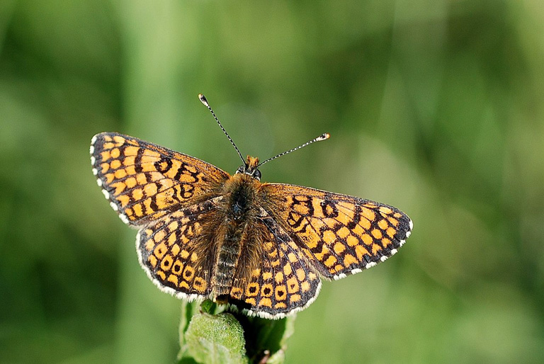 The upper side of a resting Glanville fritillary. Image by Gilles San Martin from Namur, Belgium via Wikimedia Commons (CC BY 2.0)[CC BY-SA 2.0 (https://creativecommons.org/licenses/by-sa/2.0)].