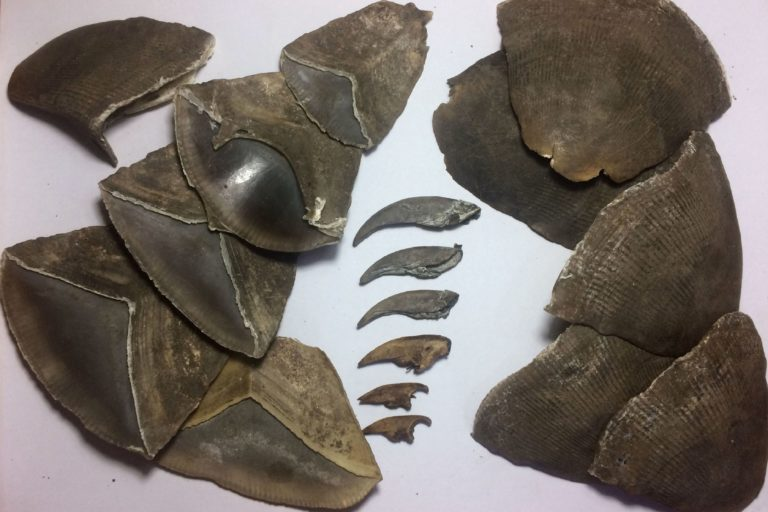 Pangolin scales and nails seized from illegal trafficking in South Sudan. Credit: WCS South Sudan