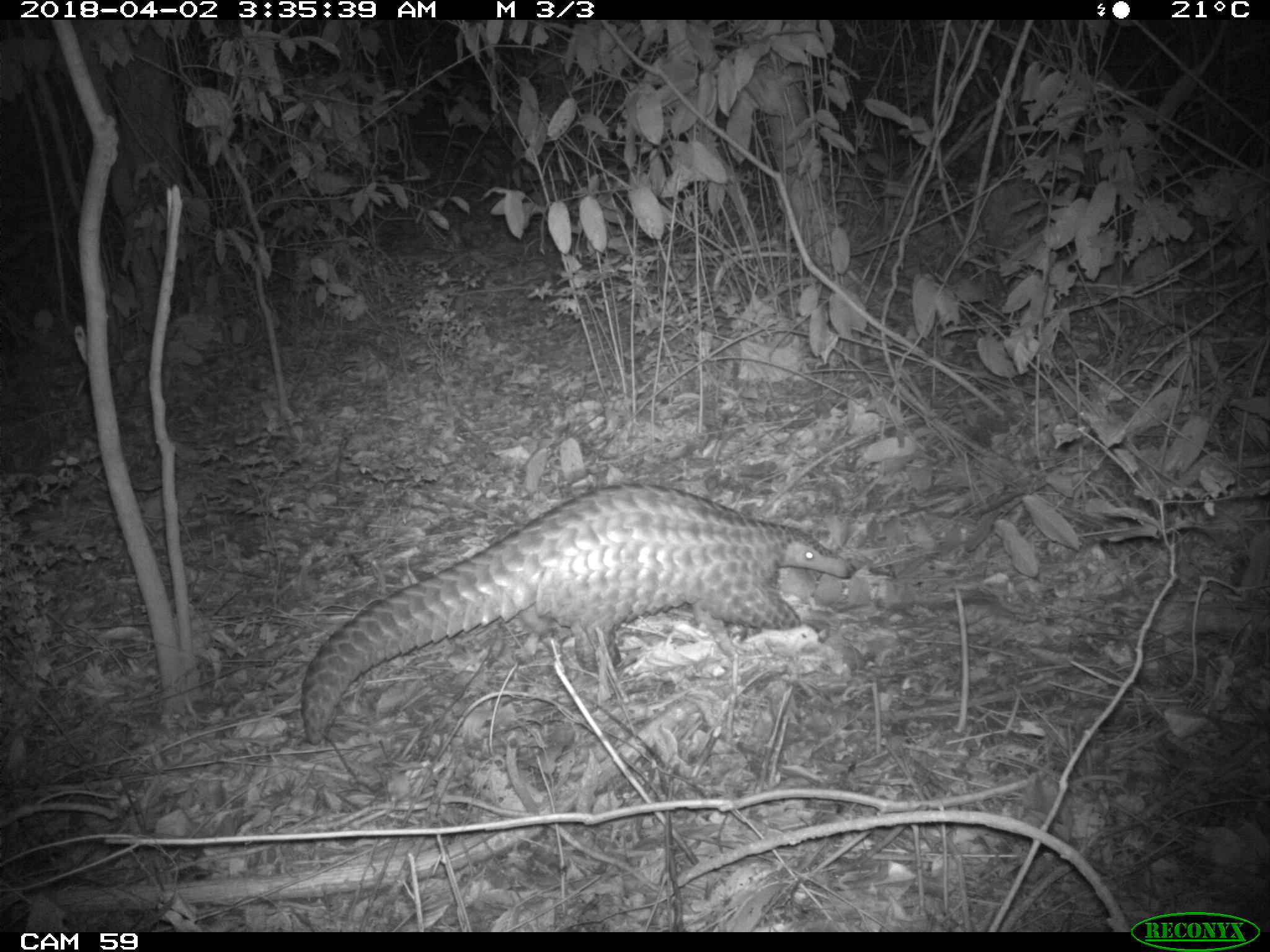 Camera trap image of a pangolin foraging at night in South Sudan. Credit: Bucknell University/Fauna and Flora International