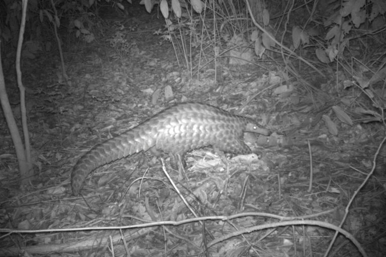 Pangolins are a victim of political instability in South Sudan