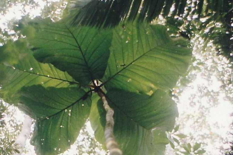 Amazonian tree with human-sized leaves finally gets ID'd as new species