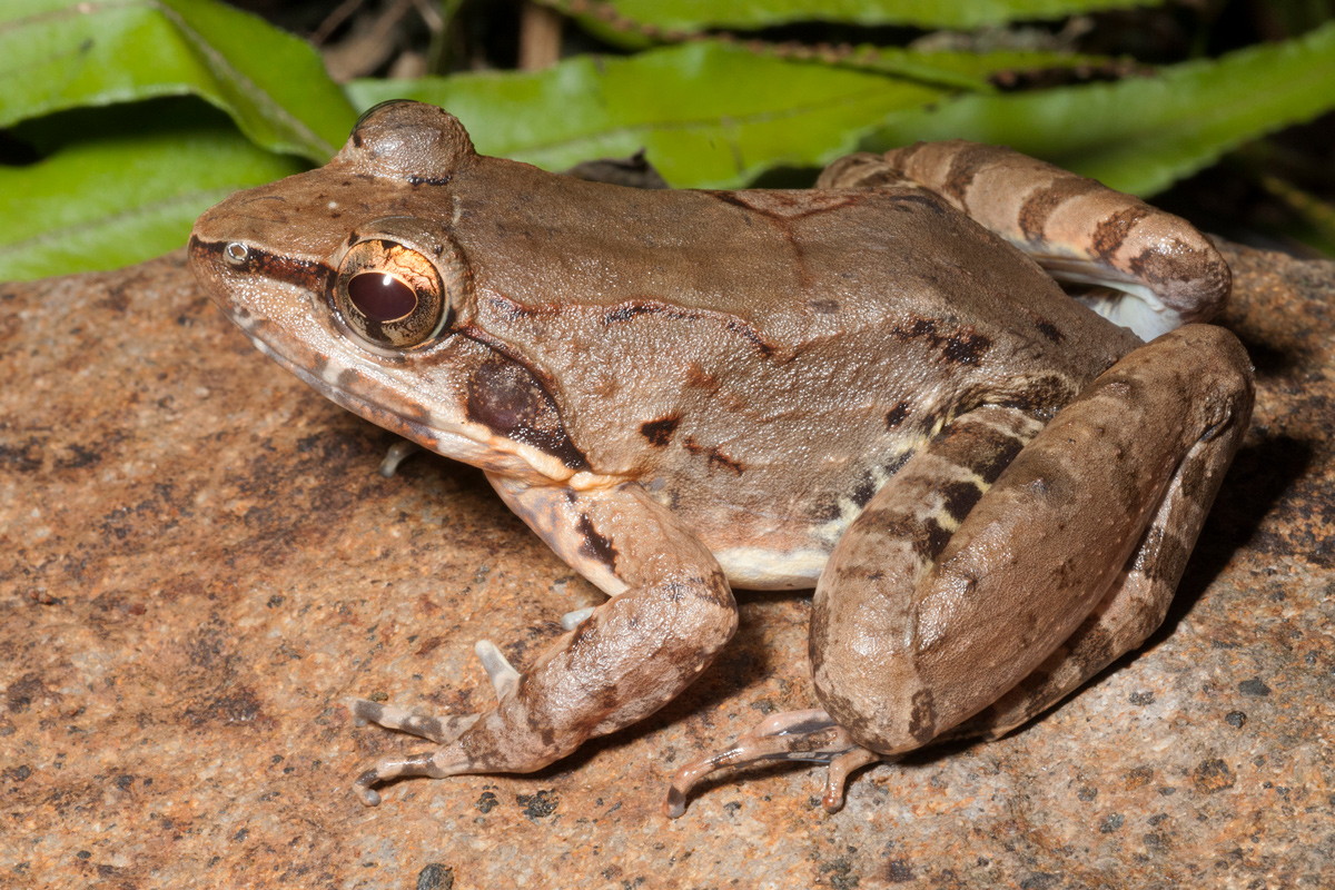 Woodworth's frog (Limnonectes woodworthi) is the most common fanged frog on southern Luzon Island in the Philippines. Skin swabs showed that the species carries a global chytrid variant. Photo by Rafe Brown and Jason Fernandez