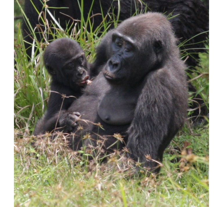 This infant was likely contaminated through contact with its mother. Photo by Peggy Motsch/Sienna Heights University and Guillaume Le Flohic/African Parks