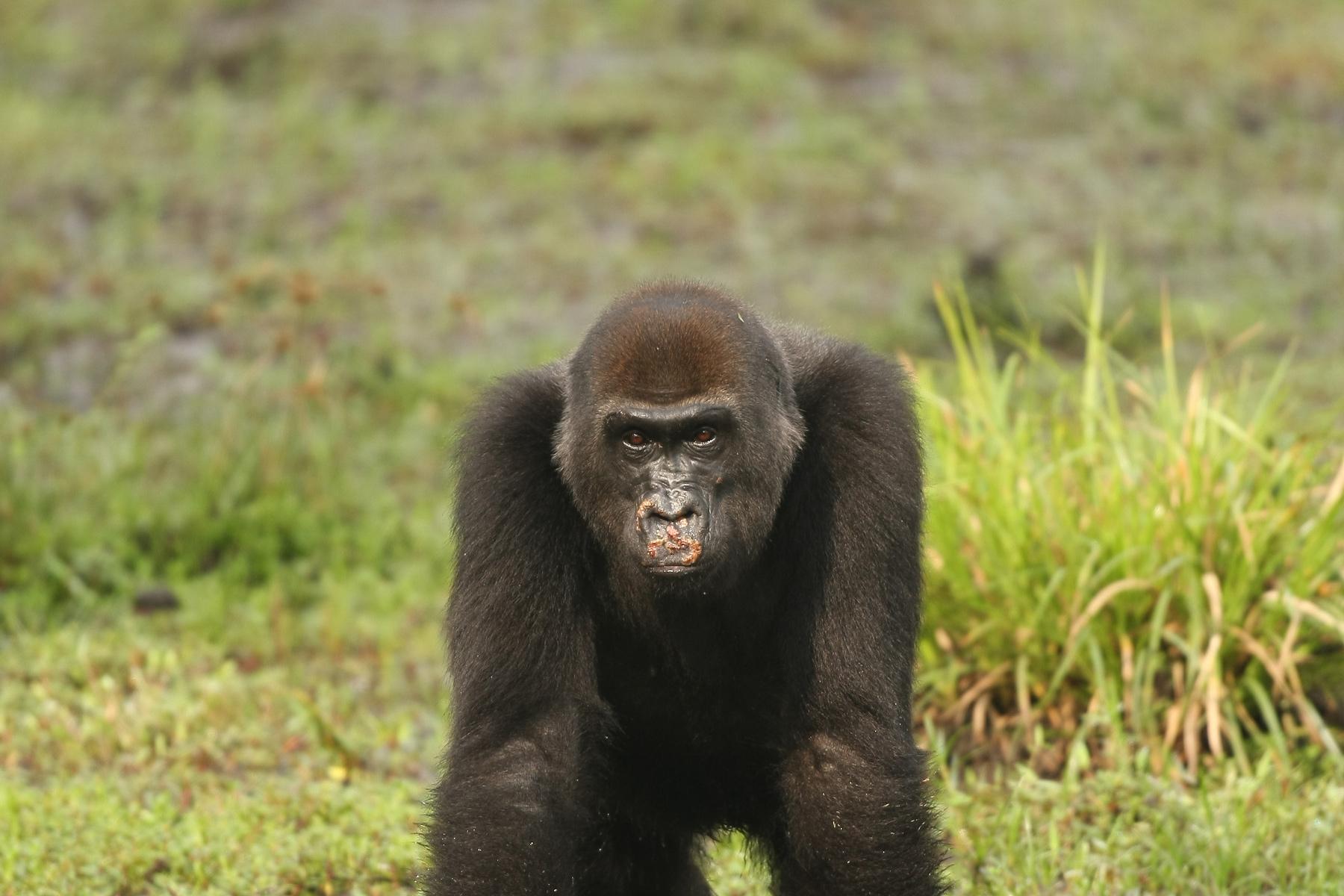 Female Gorillas Recognize And Respond To Contagious Disease