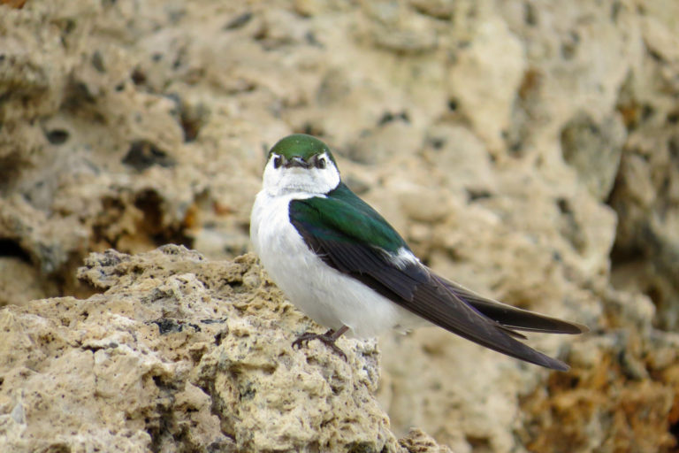 Small insect-eating birds, such as the violet-green swallow, have not declined as severely as larger meat-eating birds. However, future warming may further increase water demands and put more species at risk of collapse. Photo by Sean Peterson