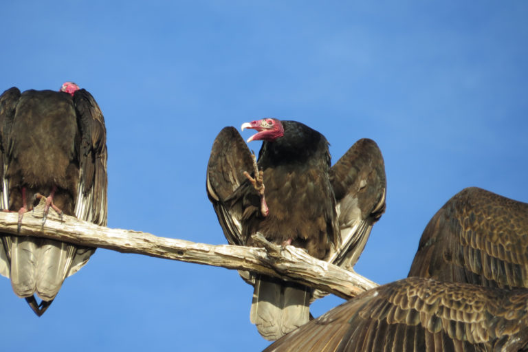 Large, carnivorous birds, such as turkey vultures, get all of their water from the animals they eat. As temperatures rise, these species face the most difficulty consuming enough water to stay cool. Photo by Sean Peterson