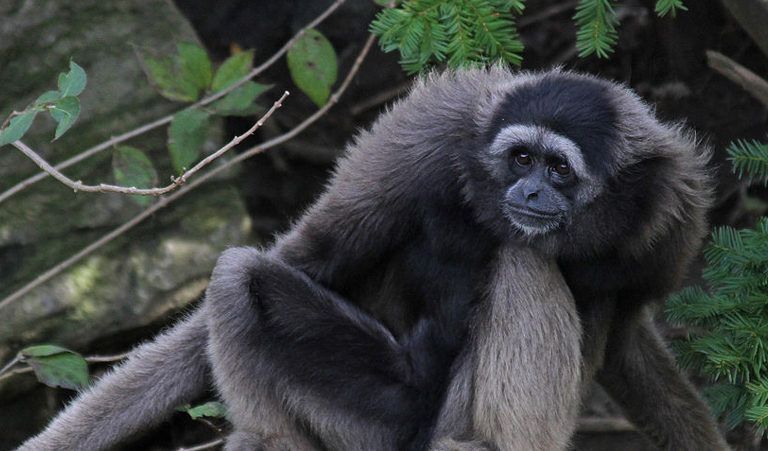 Audio: How listening to individual gibbons can benefit conservation