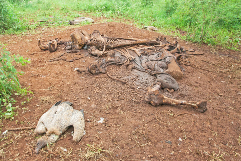 A dead vulture next to a dead elephant in southern Mozambique. The carcass had been laced with toxic farm poisons. Image courtesy Andre Botha