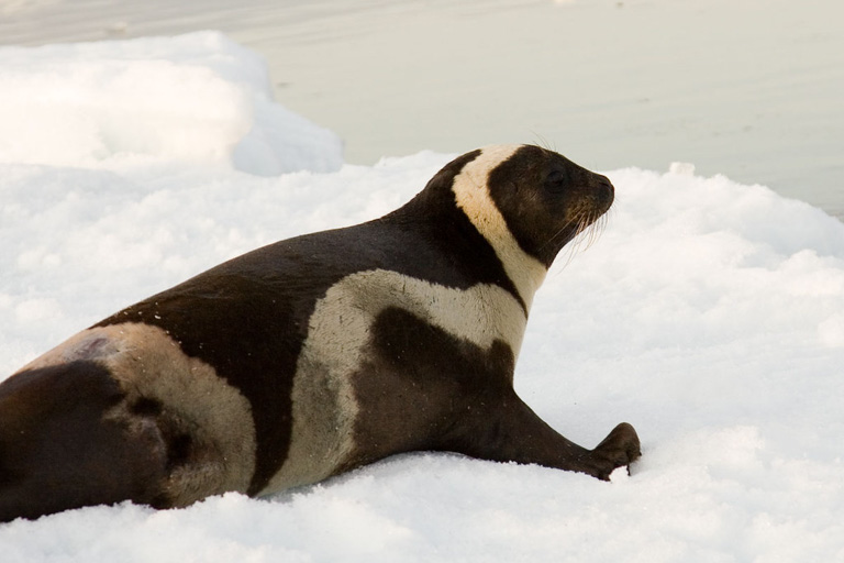 A male ribbon seal. Image by Jomilo75 via Flickr (CC BY 2.0).