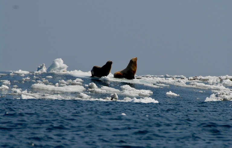 Melting sea ice is connecting marine mammals, like these Steller sea lions, that were formerly separated by ice, opening pathways of disease transmission. Image courtesy of NOAA Fisheries, Polar Ecosystems Program.