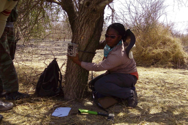 Nyeema Harris and her crew deployed motion-detecting cameras throughout their study site in West Africa. Credit: University of Michigan Applied Wildlife Ecology Lab