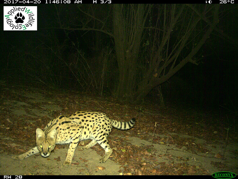 A serval (Leptailurus serval) that triggered one of the motion-detecting cameras. Credit: University of Michigan Applied Wildlife Ecology Lab