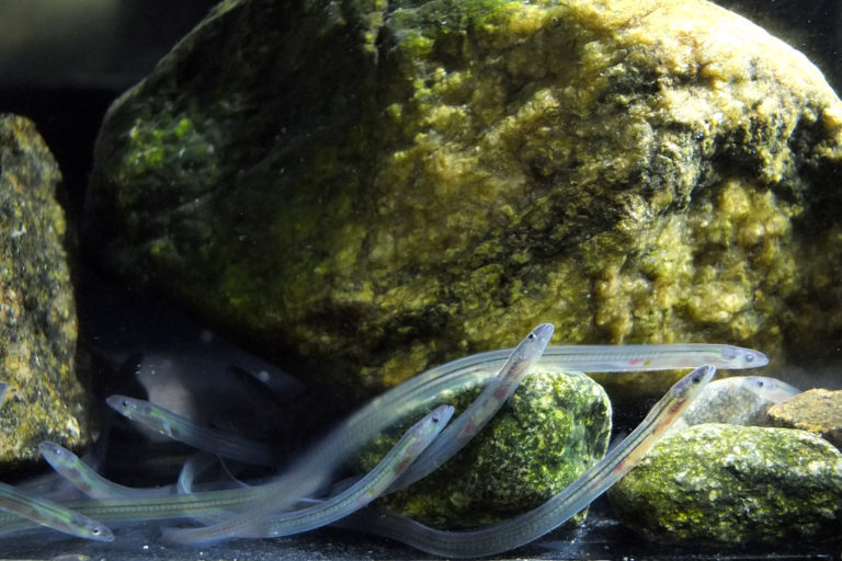 Glass eels are a juvenile form of the European eel (Anguilla anguilla), a species that undergoes an incredible 10,000 kilometer (6,200 mile) migration. Photo courtesy of Alessandro Cresci.