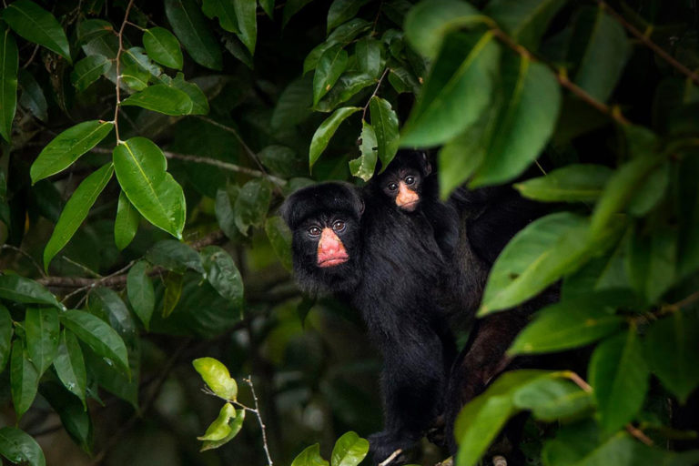 A white-nosed saki (Chiropotes albinasus) in the Amazon rainforest canopy. Climate change will shrink the habitat of these endangered primates and deforestation may limit their ability to find new homes, a new study reports. Photo by João Paulo Krajewski.