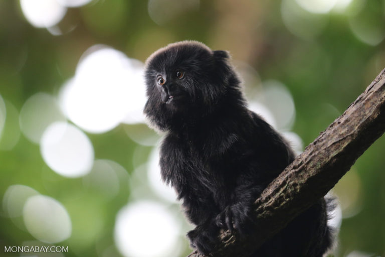 Goeldi's monkeys (Callimico goeldii) are among the primates that will lose a large amount of habitat without policy intervention. Photo by Rhett A. Butler