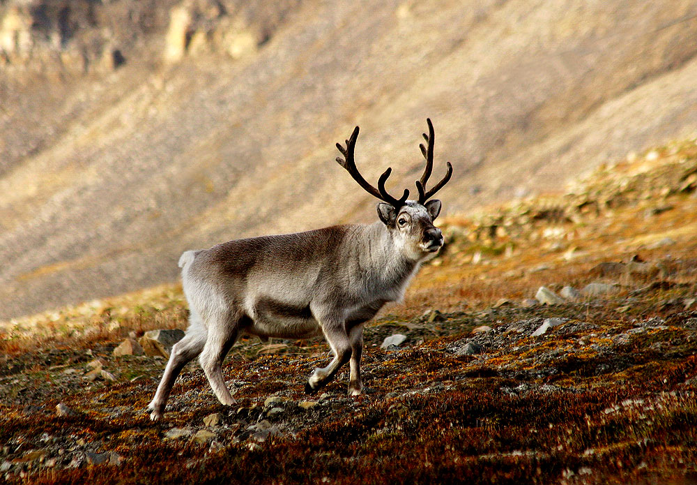 Svalbard reindeer rebounding better than hoped after nearly going extinct