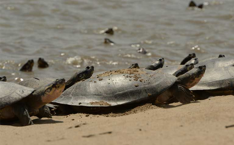 Amazon S Giant South American River Turtle Holding Its Own But Risks Abound